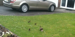 Duck and ducklings in garden shortly before shepherding to safety